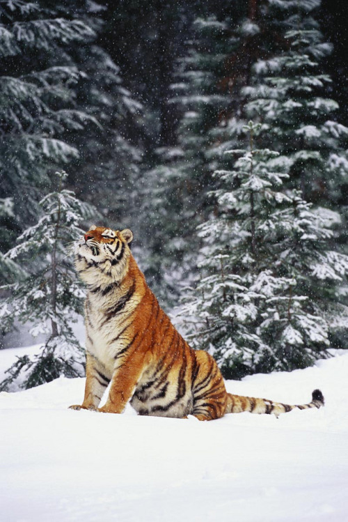 0rient-express:  Tiger | by LYNN STONE.