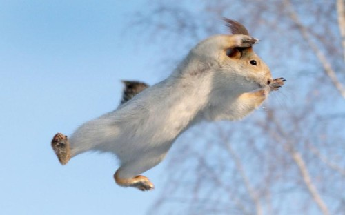 inothernews:  LEFT THE GAS ON  A red squirrel is pictured in mid-air by Russian photographer Andrey Chernyh.  (Caters via The Telegraph)