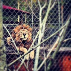 #Lion #KingOfTheJungle #Rawr #cattyshackranch #SB2013 (at Catty Shack Ranch Wildlife Sanctuary)