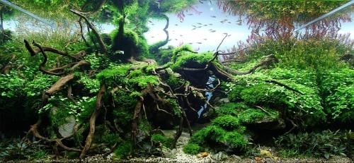 "aquaceed:RefugeAquarium :100x50x50 verre optiwihte de 12 mmEclairage : Easy Life paradiso 6x24 wattsFiltration : FLUVIAL G3, ""lily pipe"" GUSHSubstrat : Aqua soil amazonia newCO2 : Injection par réacteur 24h/24h 1bulle toute les 5 secondesDécors : Aku stones, Frodo stones, Red Moor Roots, sable de rivière,Plantes : rotala rotundifolia, rotala indica, hydrocotyle tripartita sp. Japan, vesicularia dubyana, amblystegium riparium, fissidens fontanus, cryptocoryne petchii, lilaeopsis brasiliensisPoissons : rasbora espei, danio tinwini, danio choprae, puntius oligolepis, gastromyzon cheni, neocaridina heteropoda shrimp."