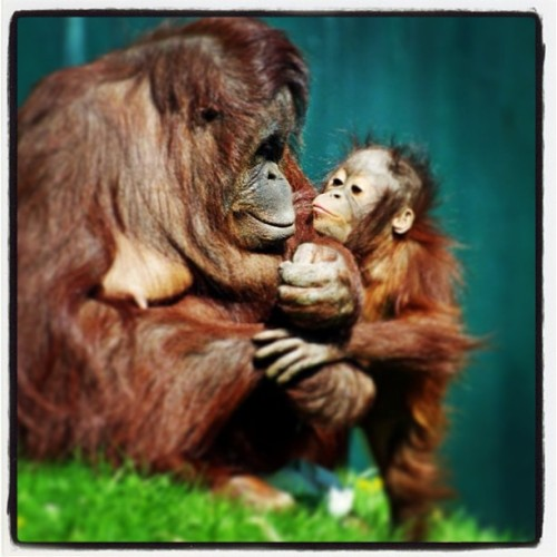 Molly reaches up for a kiss from mum :-) The orangutan is classified as #Critically #Endangered by the #IUCN, the World Conservation Union. There are now only around 6,600 remaining in the #wild & experts suggest that they could be the first #Great #Ape species to become #extinct. The orang utans' forest home is being felled & turned into #palm oil# plantations on a massive scale. You can help save this species from extinction by buying palm oil free products - check the label :-) #orangutan #twycrosszoo #mother #daughter #kisses #cuddles #love #animal by twycrosszoo http://bit.ly/17ypZST