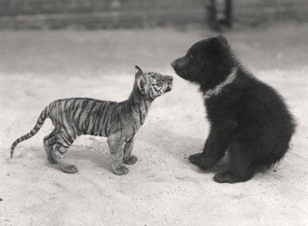 """What are you?"" asked the tiny tiger. ""I am a small bear,"" said the small bear. ""I feel like we're missing something,"" said the tiger to the bear. ""I'm not lion, either."""