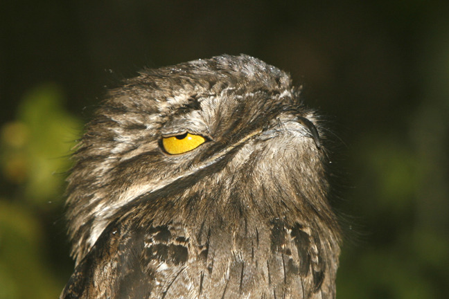dreammaker-heartbreaker:   The Potoo - Either the most unphotogenic or the most ridiculous looking bird in the world.  I am the Potoo. The Potoo is me.