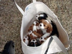 9oh4:  DUH PUPPIESSS   Casual stroll with about 7 puppies in a bag…Ok