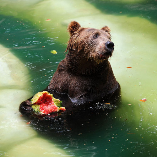 A brown bear eats watermelon while cooling down in a pool at the zoo in Rio de Janeiro.  Picture: VANDERLEI ALMEIDA/AFP/Getty Images