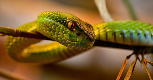 White-lipped bamboo viper by Supervliegzus on Flickr.