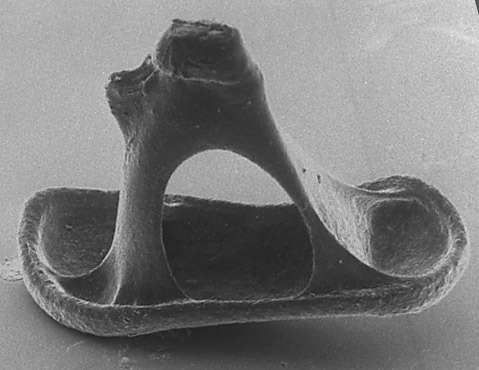 currentsinbiology:  The stapes (stirrup) is the smallest and lightest bone in the body. The stapes is the connection between the middle and inner ears. The head of the stapes connects to the incus and the footplate rest within the oval window of the cochlea. It is the third ossicle of the middle ear and part of the auditory system that transduces sound energy into mechanical energy and finally, electrical energy.