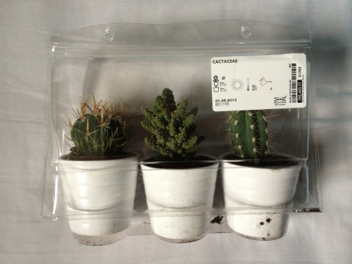 ickyyy:  three mini cacti's