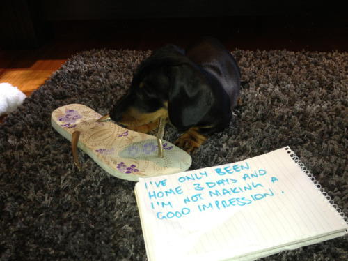dogshaming:  First impressionsI've only been home 3 days and I'm not making a good impression!Walter, 8 weeks old. Pooping gold…View Post