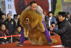 sunnybutte:  The majestic Tibetan mastiff.