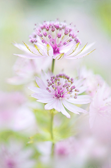 4himglory:  Softly Astrantia by Jacky Parker Floral Art on Flickr.