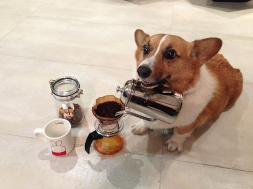 thefrogman:  No one buttles like a corgi.