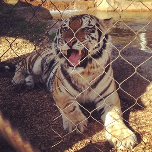 lassoaroundthemoon:  Class assignments are fun sometimes 🐯 #lsu #mikethetiger (at LSU - Mike's Habitat)