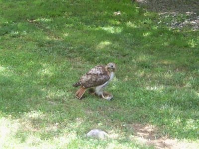 A hawk flew by some days ago and ate one of the woodchuck pups in my backyard.