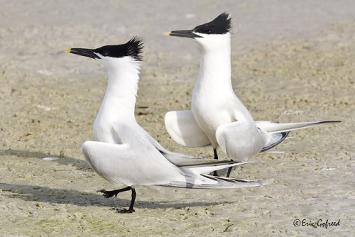 funnywildlife:  Sandwich Terns _3540 by Eric Gofreed on Flickr.