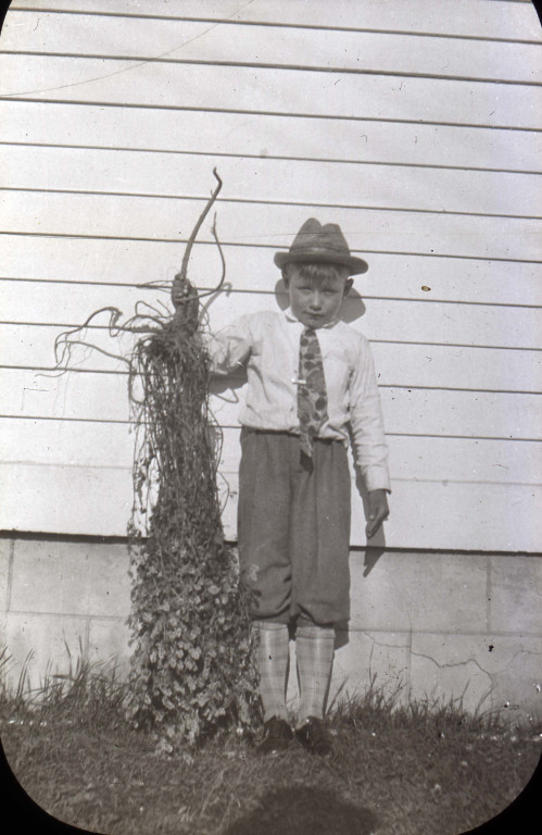 Peter L. Swartz shows long roots on alfalfa plant, Cornfalfa Farms, Waukesha County, Wisconsin, ca. 1930. via: New Berlin Historical Society read more: http://recollectionwisconsin.org/alfalfa-production