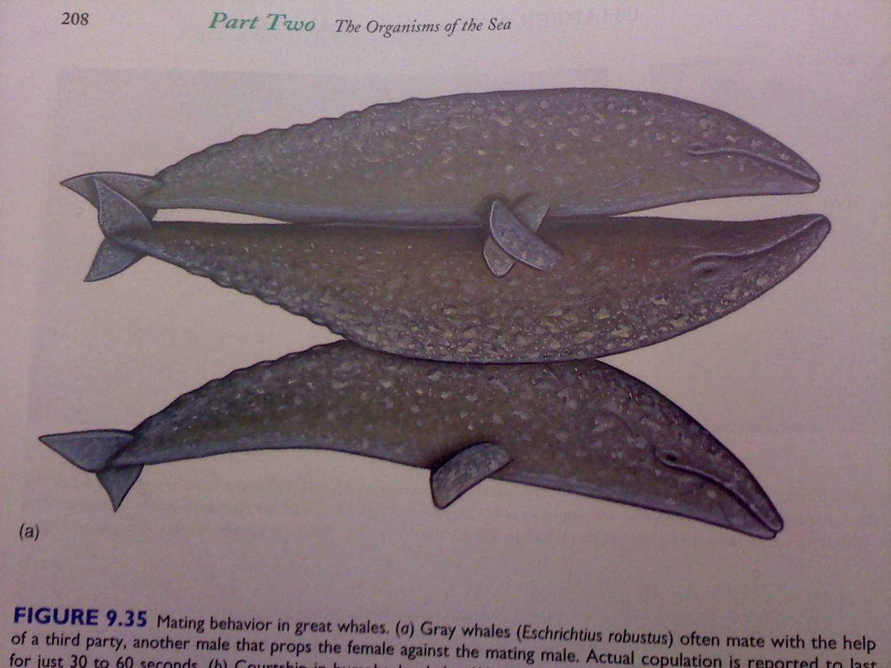 bennyslegs:  moldykins:  SO APPARENTLY WHEN TWO LARGE WHALES DO THE NASTY THERE'S  SOMETIMES THIS ONE BRO WHO JUST SORT OF HOLDS THEM UP SO THEY DON'T FLOAT OFF NATURE IS BEAUTIFUL    tempted to make that second pic my fb dp