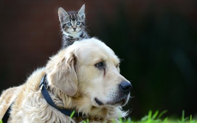 Tiny 8-week-old tabby kitten Cindy is seen cuddling up to her canine friend, 8-year-old golden retriever Harvey, at the Lost Dogs Home in Melbourne, Australia.  Picture: David Caird/Newspix / Rex Features