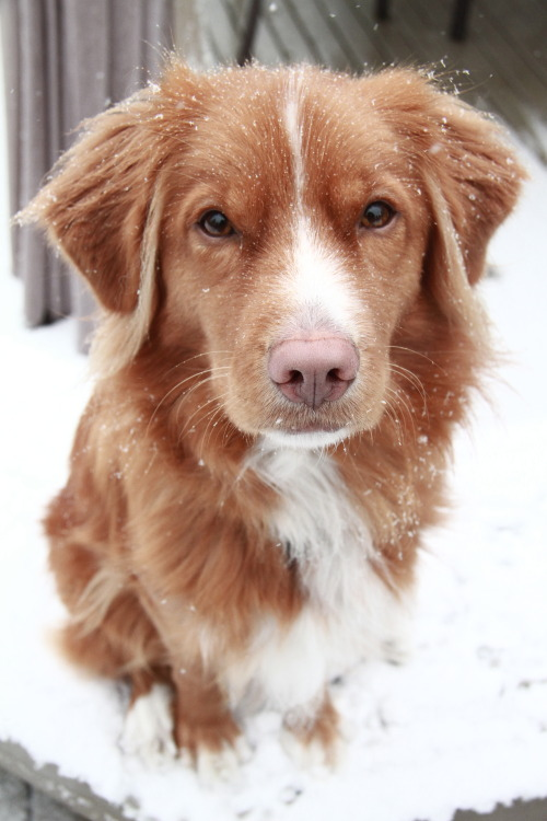 handsomedogs:  My little man, Sage :) Nova Scotia Duck Tolling Retriever.