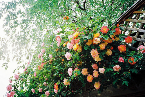 arquerio:  roses by hiki. on Flickr.