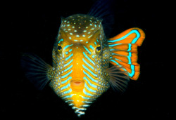 The ornate cowfish (Aracana ornata), like all cowfish, has a skeleton made of fused bones, essentially trapping it in a barely-flexible box. For this reason, these fish are typically slow movers; however, it does have an advantage: few other fish are able to eat adult cowfish. (Source)