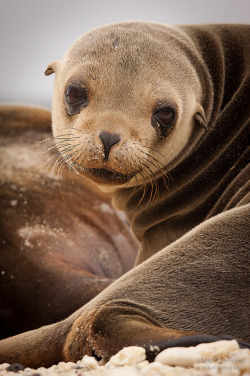 marinemammalblog:  Galápagos Sea Lion (Zalophus wollebaeki) by mikel.hendriks on Flickr.