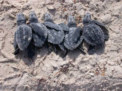 rhamphotheca:  Sea Turtles on the South Texas Coast 20 sea turtle nests have so far been found on South Padre Island and Boca Chica Beach! The first nest is estimated to hatch the week of June 9th. For more information about attending a public sea turtle hatchling release… visit:  www.seaturtleinc.org or   https://www.facebook.com/SeaTurtleConservation (Photo: Kemp's ridley sea turtle hatchlings released into the Gulf of Mexico, South Padre Island, summer of 2006) (via: Laguna Atascosa National Wildlife Refuge)
