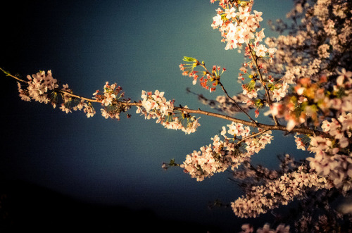 Sakura by kirainet on Flickr.
