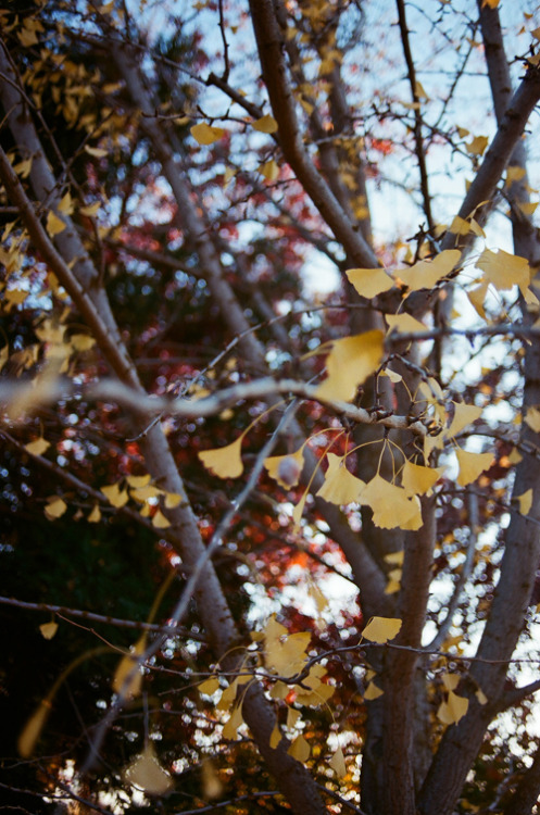 December 2009. Gingko tree in parent's front yard.  35mm film.