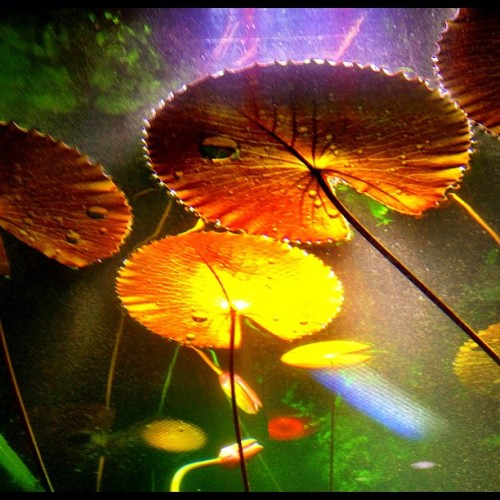 Lily pads #rainforest #cierawestphotos #sf #lilypads #nightlife #wildlife  (at California Academy of Sciences)