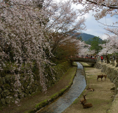 japan cherry blossoms deer fawn miyajima scenery uploads places animals flowers