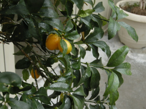 Our kumquats are starting to ripen on the tree.  The goal is to make kumquat tea with it when the fruits are ready to be picked. This kumquat tree is raised in a heated greenhouse in Pennsylvania.