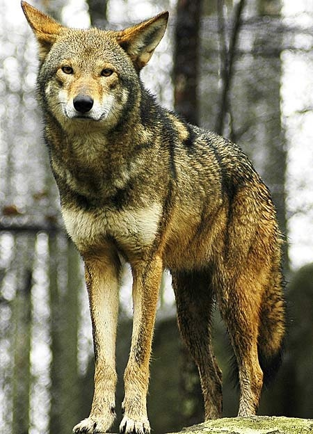 thepaintedbench:  The almost extinct Red Wolf