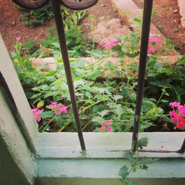 #flor #flower #nature #house #decor #decoração #garden #yard #cute #beautiful #instapic #instagood #tagsforlikes #pirabas #pará #brasil #brazil #photo #mine #photography #foto #fotografia #pink #green #color #colors #colorful