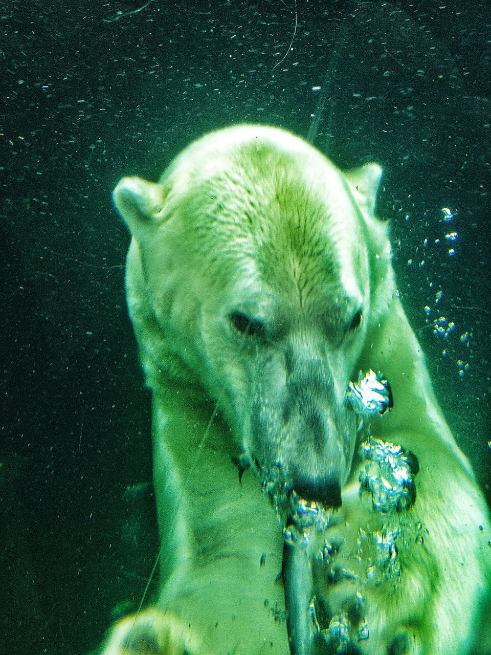 Polarbear swimming in Copenhagen zoo