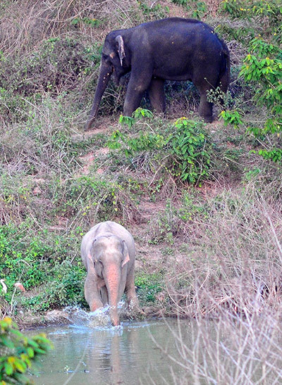 ecocides:  A rare albino elephant in Kaeng Krachan national park in Phetchaburi province, Thailand. In Thai ancient tradition, the rare elephant is regarded as sacred and becomes the property of the Thai monarch. Park officials have raised concerns that the white elephant will become a top target for poachers | image: STR/EPA