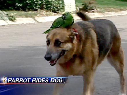 animals-riding-animals:  parrot riding dog