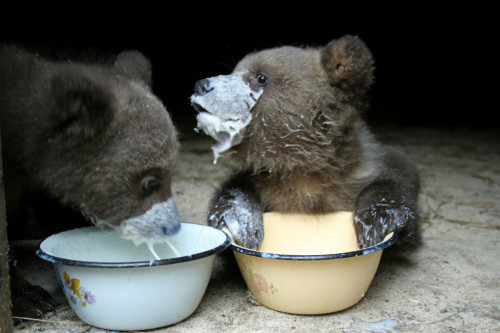 naglly:  ミルク、うまいねー。 Ever seen a baby bear cub having some milk? - Imgur)