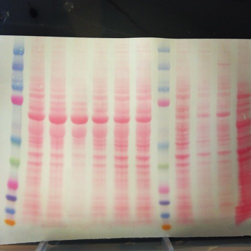 It's like arts and crafts except way nerdier and cooler. #myfirstwesternblot #proteingel #broteingel #kaleidoscopeladder