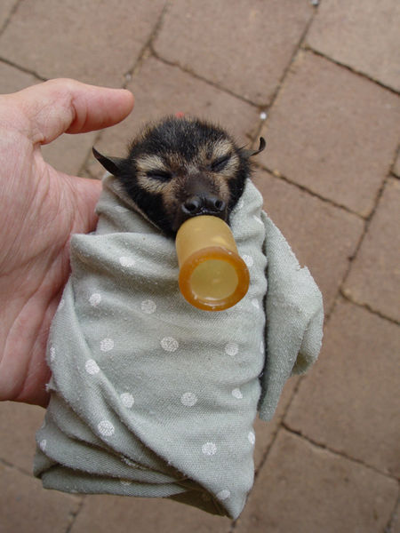 Spectacled flying fox baby, at the Tolga Bat Hospital http://en.wikipedia.org/wiki/Spectacled_flying_fox