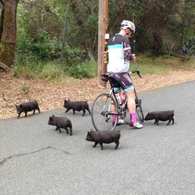 10knotes:  awwww-cute: One of my friends got chased by little piggies during his bike ride  PIGGIES <3