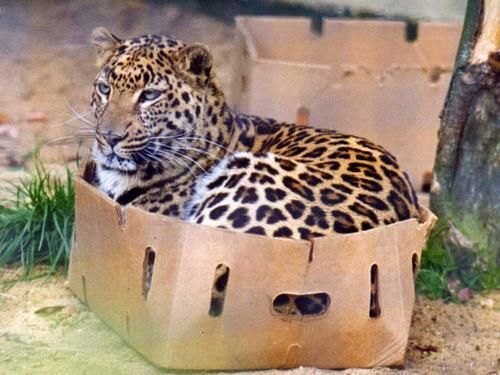 tygermama:  gorgonetta:  [Color pic: a leopard has crammed itself into a cardboard box slightly too small for it] roger-odonnell: