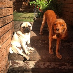 Lazy Sunday afternoon. #pug #dog #cute