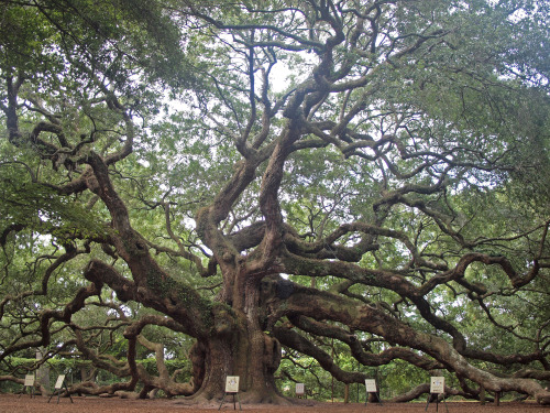 americangothgirl:  wanderlustingthoughts:  Look at this tree, man. The Angel Oak Tree is estimated to be in excess of 1500 years old, stands 66.5 ft (20 m) tall, measures 28 ft (8.5 m) in circumference, and produces shade that covers 17,200 square feet (1,600 m2). From tip to tip Its longest branch distance is 187 ft.  Ancient being.