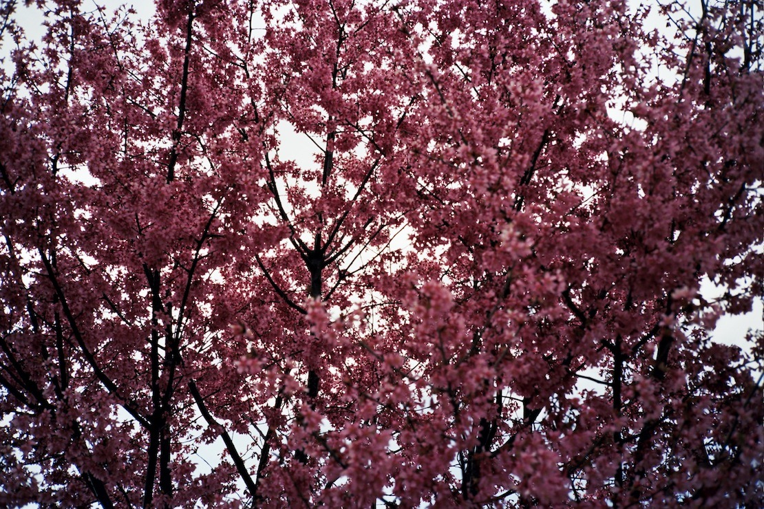 Cherry Blossoms.  Brooklyn, NY