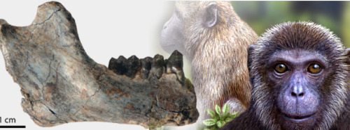 25-Million-Year-Old Primate Fossils Unearthed in Tanzania Enrico de Lazaro  |  Sci-News »  Ohio University-led scientists have uncovered fossils of two new species of ancient primates, named Rukwapithecus fleaglei and Nsungwepithecus gunnelli, which they say are the oldest paleontological evidence of split between Old World monkeys and apes.Geological analyses of the site indicate that the finds are 25 million years old, significantly older than fossils previously documented for either of two major groups of primates: the group that today includes apes and humans (hominoids), and the group that includes Old World monkeys such as baboons and macaques (cercopithecoids).  >continue<