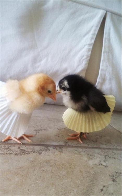 niknak79:  Chicks dressed up  oh my gosh…lil ballett dancers *__* adorable