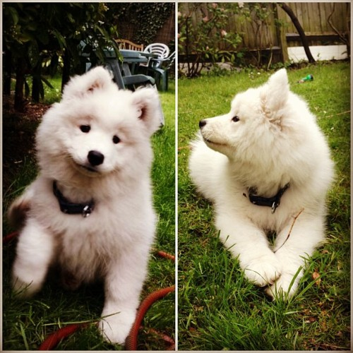 palestinaxx:  everyone meet genie😘 #samoyed