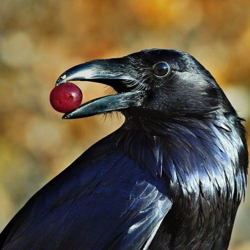dendroica:  necronosferatusxanctus:  Northern raven - Corvus Corax ♥♥  (un)common raven by Tom Spross