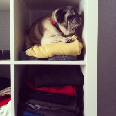 What to wear today? #pet #pug #pugs #puglife #petstagram #pugstagram